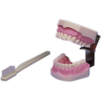 9512400 Brush and Floss Model Model, 355636